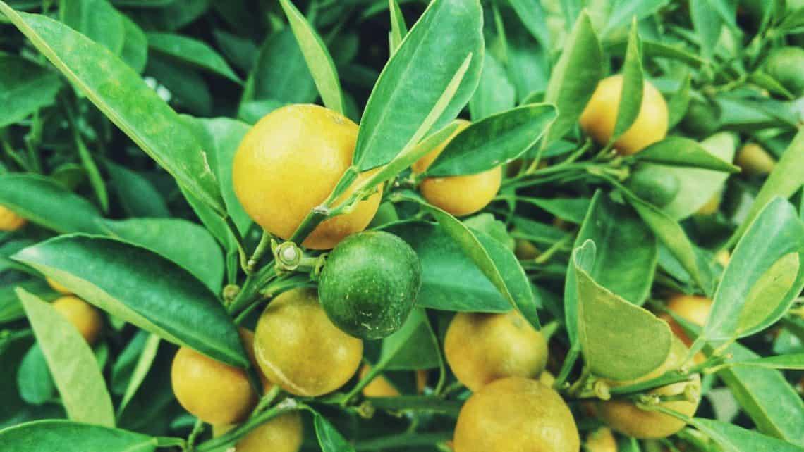 oh my oil - doterra lemon